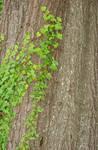 Natural Ivy Leaf Tree Texture