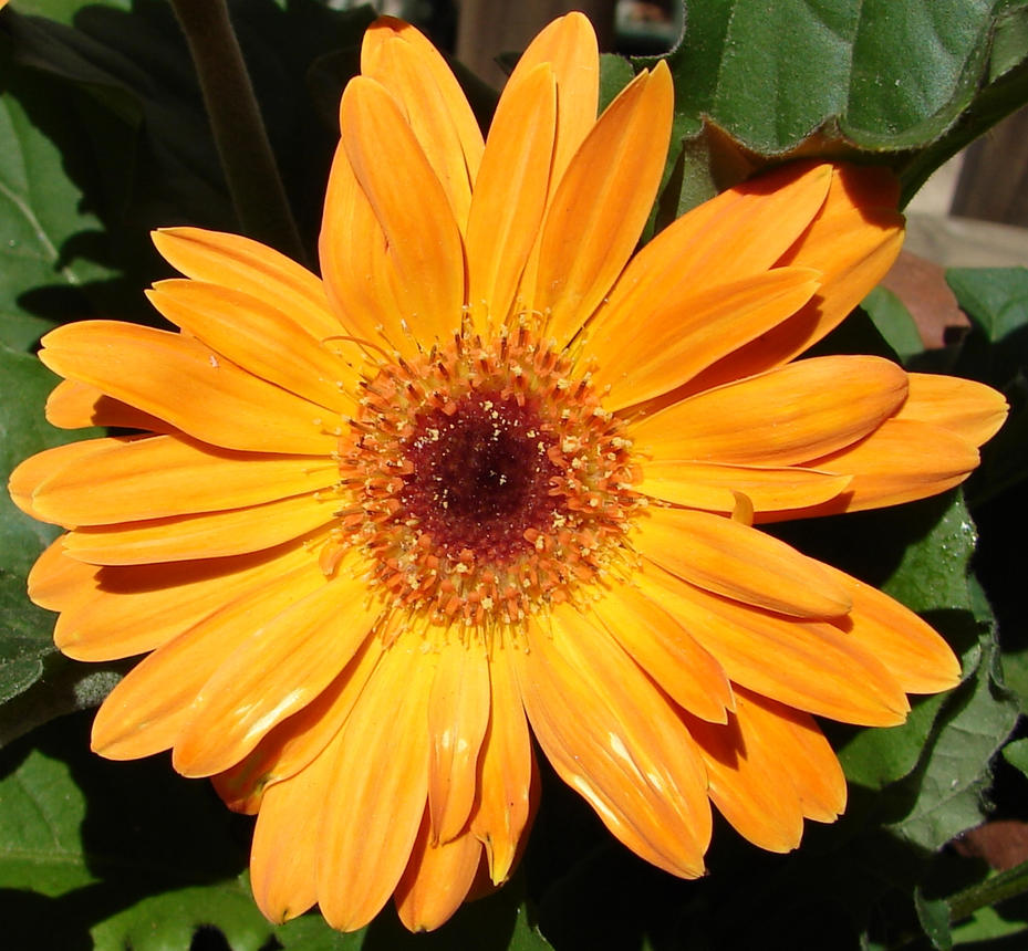 Large Orange Daisy Flower By Fantasystock On Deviantart