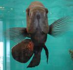 Oscar Fish Aquarium 2