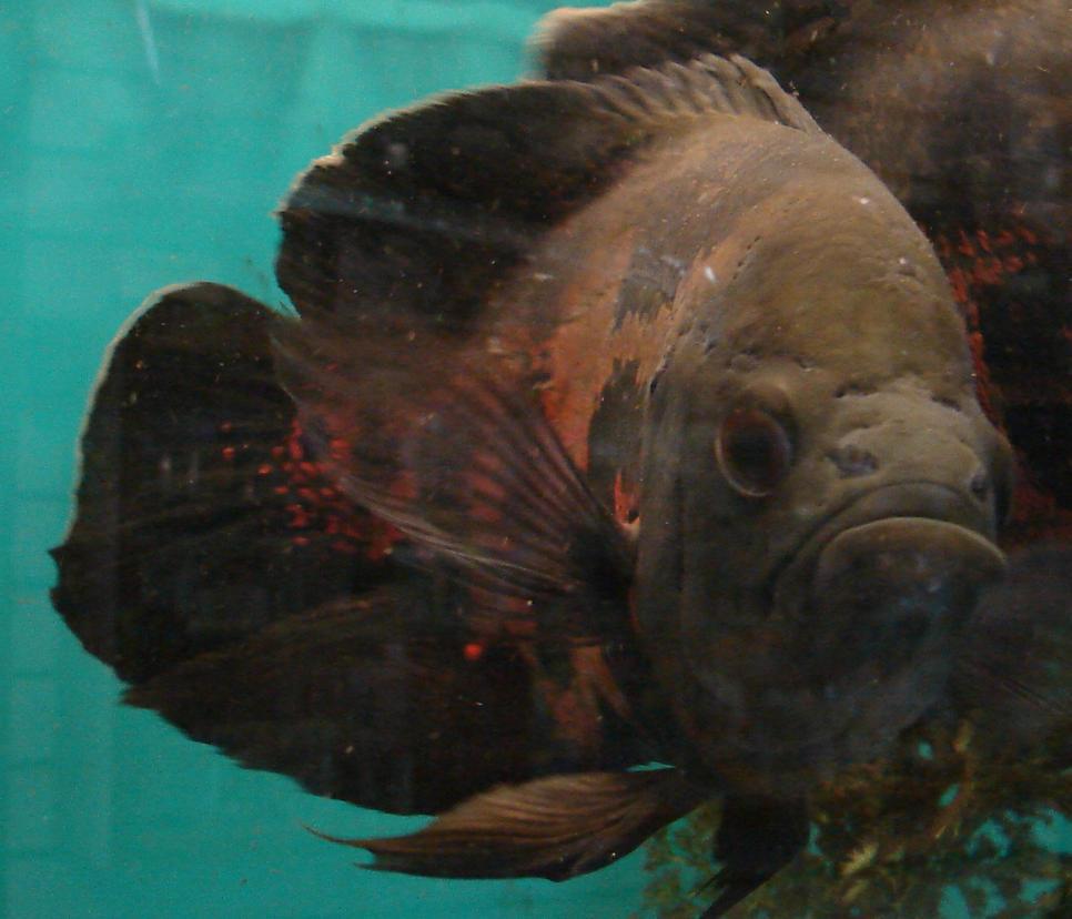 Aquarium oscar fish - photo#7