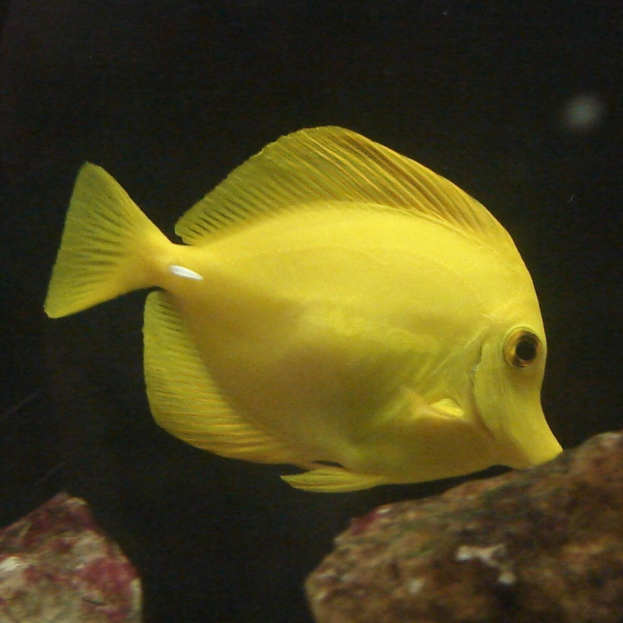 Yellow Tang Fish Aquarium by FantasyStock