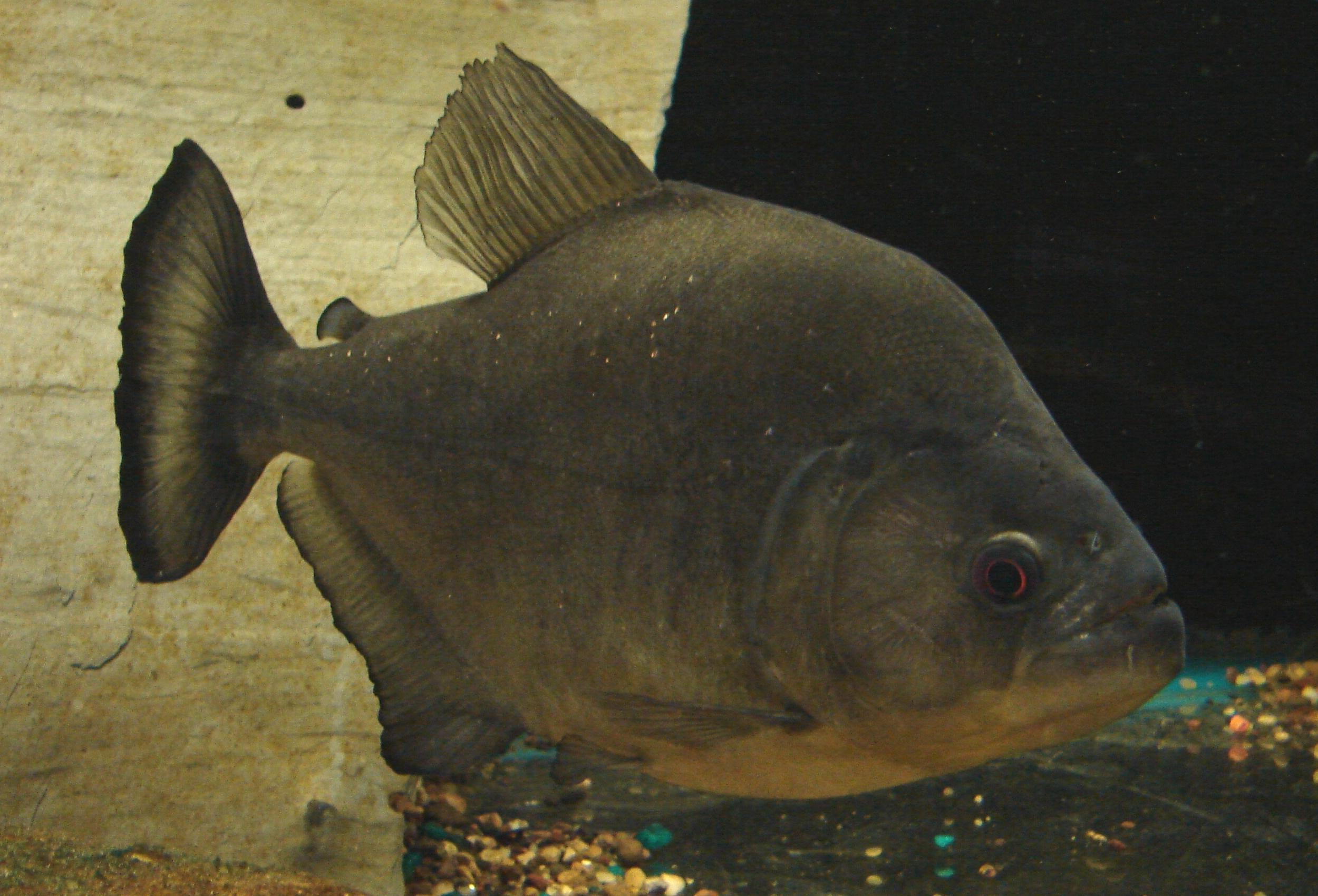 Piranha Fish Tank Piranha Fish Aquarium 2 by