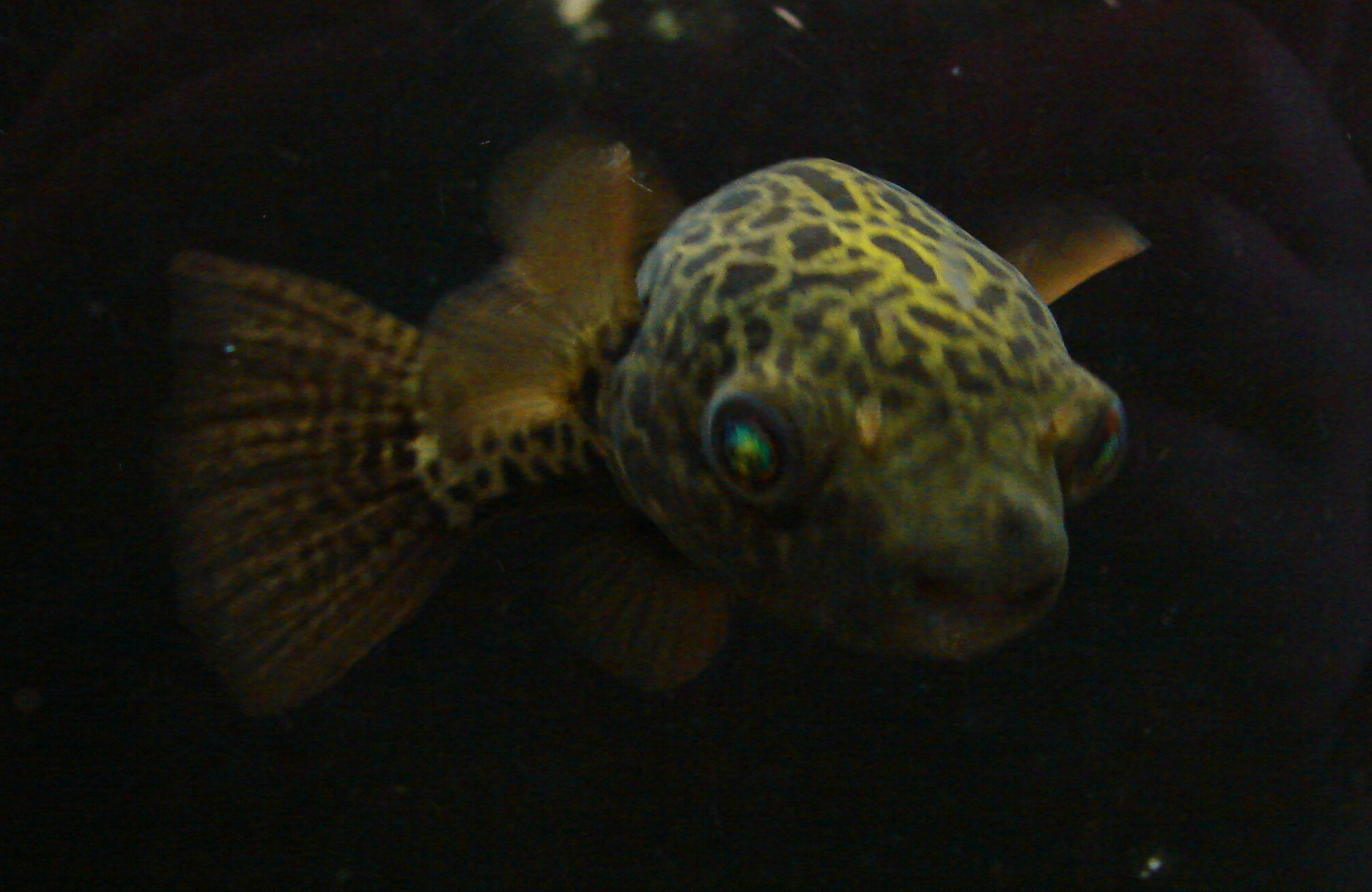 Green Spotted Puffer Fish 1 by FantasyStock on DeviantArt
