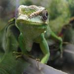 Green Cuban Anole Lizard by FantasyStock
