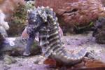 Seahorse Marine Aquarium 1 by FantasyStock