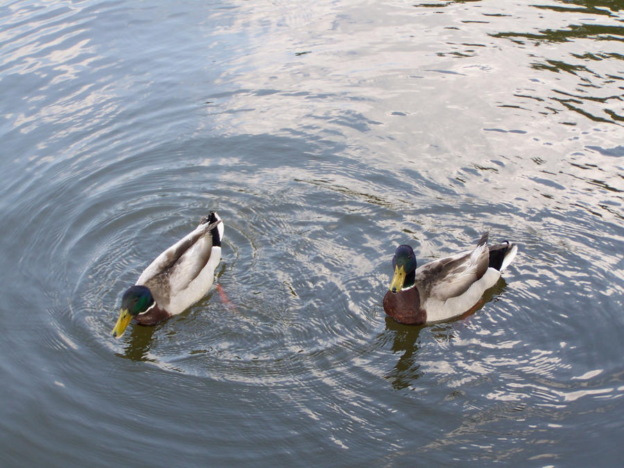 Random ducks by Blitzkrieg64