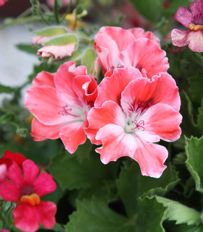 English geranium by GLO-HE