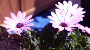 My Bornholm daisies