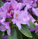 Rhododendron flower by GLO-HE