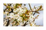 My cherry blossom