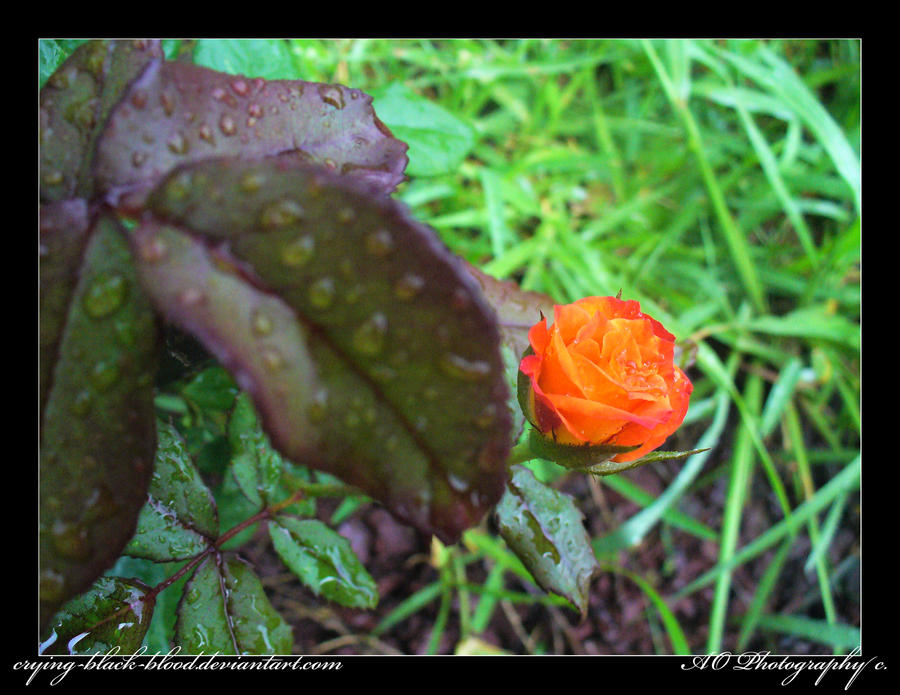 Raindrops on Roses by AO-Photography
