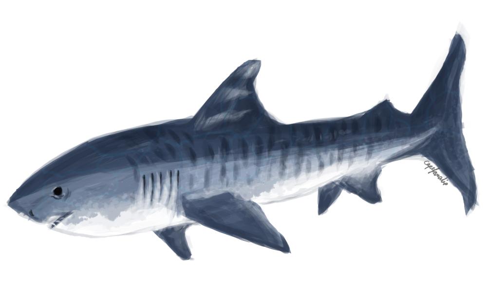 Tiger Shark by capefoxalix
