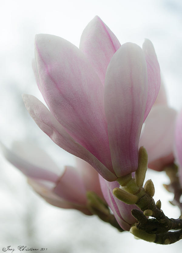 Magnolia by JacqChristiaan