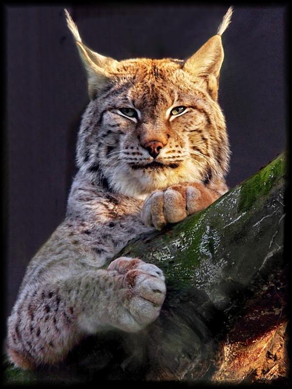 lynx eyed modified by asomy