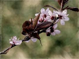 Prunus Cerasifera by Weissglut