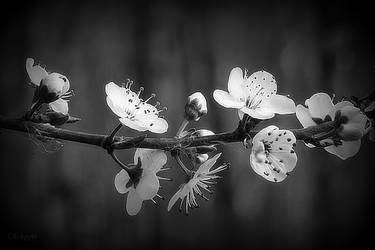 Blooming Branch by Weissglut