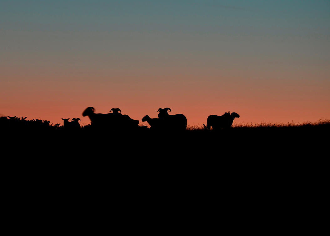 Sheep in Silhouette by roodpa
