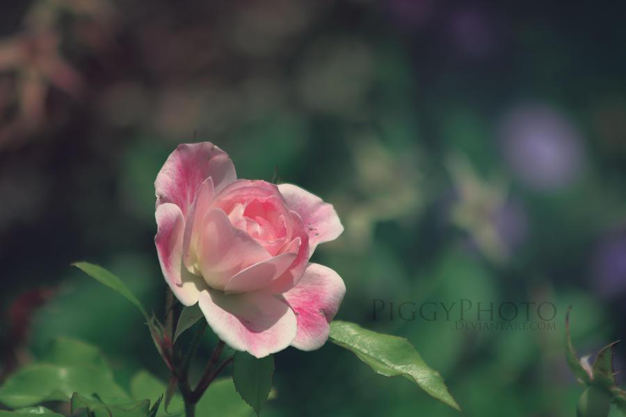 Fragrance by piggyphoto