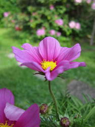 Pink Flower by DvAsk
