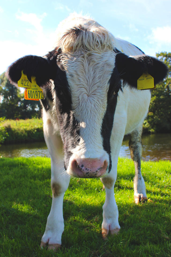 Dedham cow by JustineG94