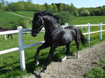 Oldenborg stallion