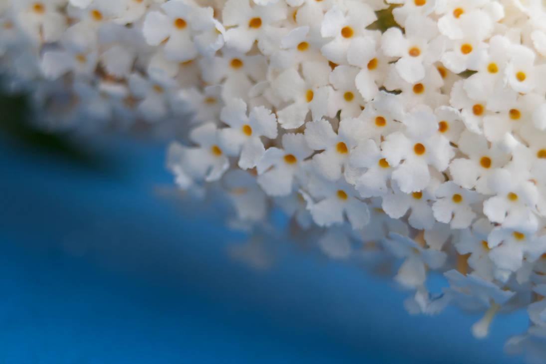 Lilac CloseUp 01