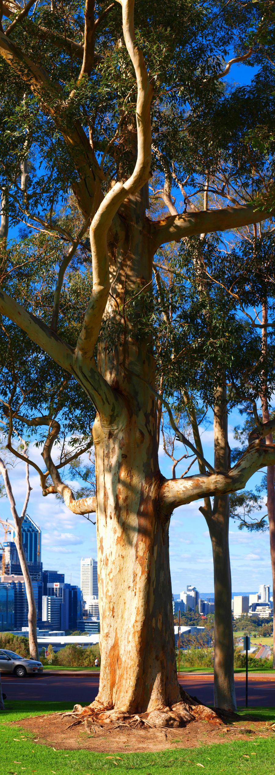 Perth gum tree