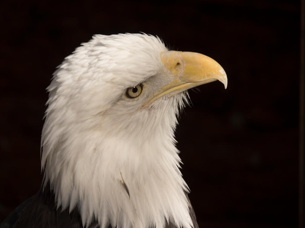Bald Eagle I by Squiddgee7734
