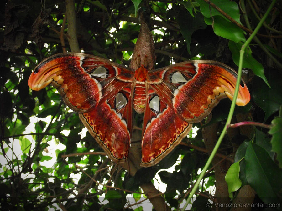 Largest moth in the world - photo#16