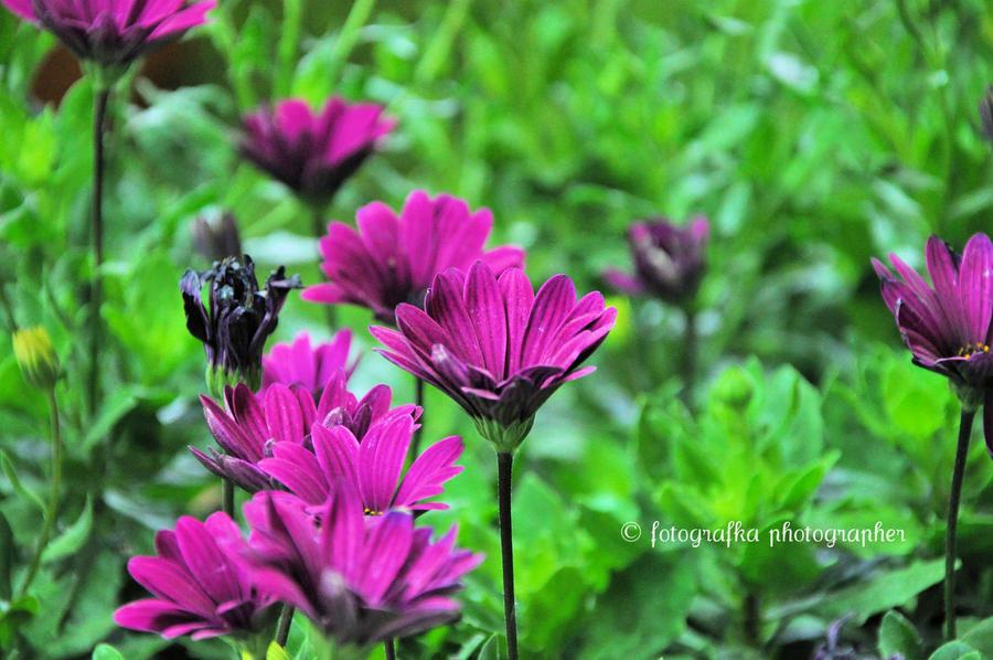 Deep pink by fotografka