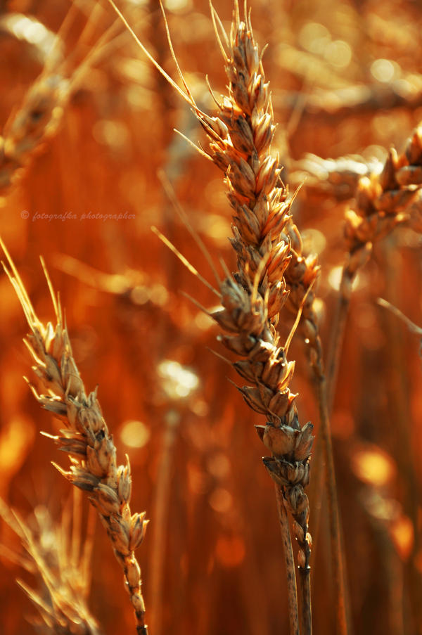 Golden wheat by fotografka
