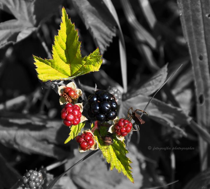 Blackberry by fotografka