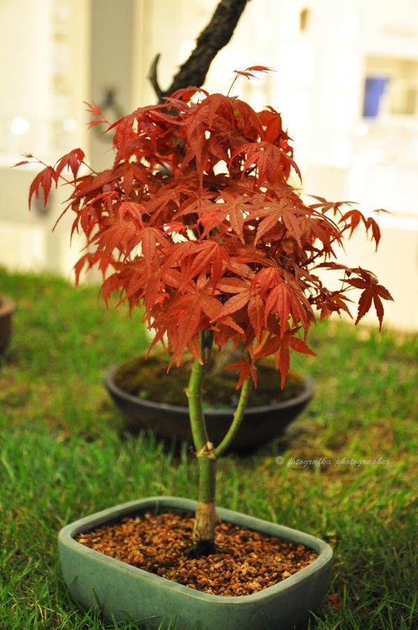 Red bonsai by fotografka