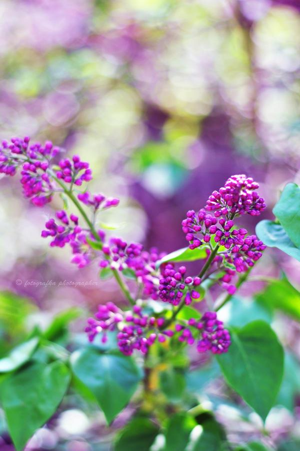 Violet by fotografka