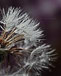 Dandelion clock by fotografka