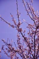 Pink blossom by fotografka