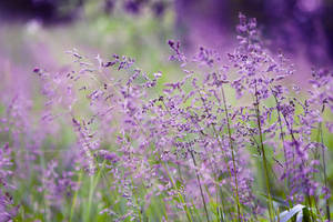 Lilac by fotografka