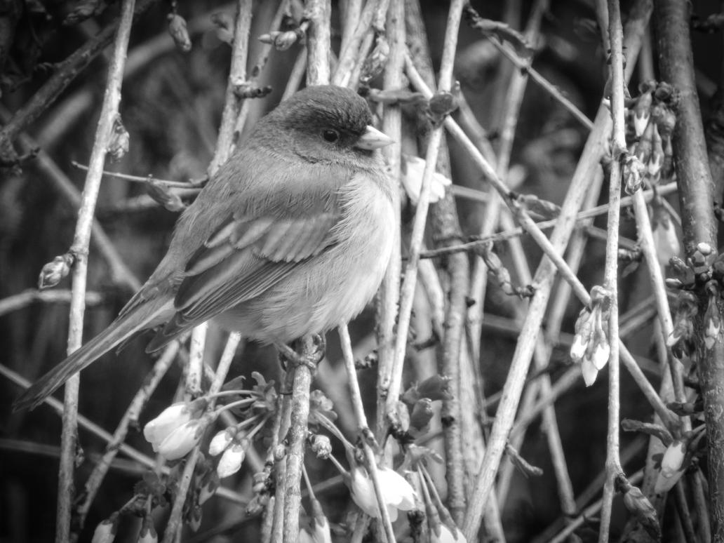 Early Spring Bird Black and White by JamesInDigital
