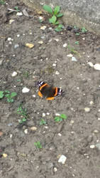 Photo #3 -- Red Admiral Butterfly