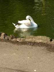 Photo #4 -- Swan - Shot 1