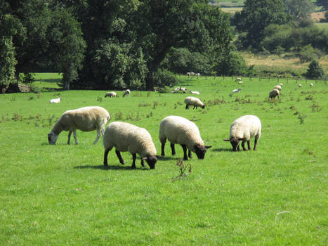 Photo #37 -- Sheep - Shot 1