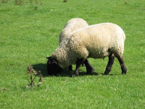 Photo #38 -- Sheep - Shot 2