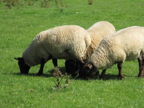 Photo #39 -- Sheep - Shot 3