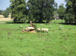 Photo #54 -- Sheep - Shot 4