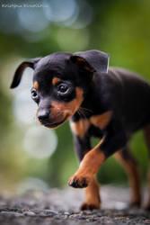 Little cute puppy by KristynaKvapilova