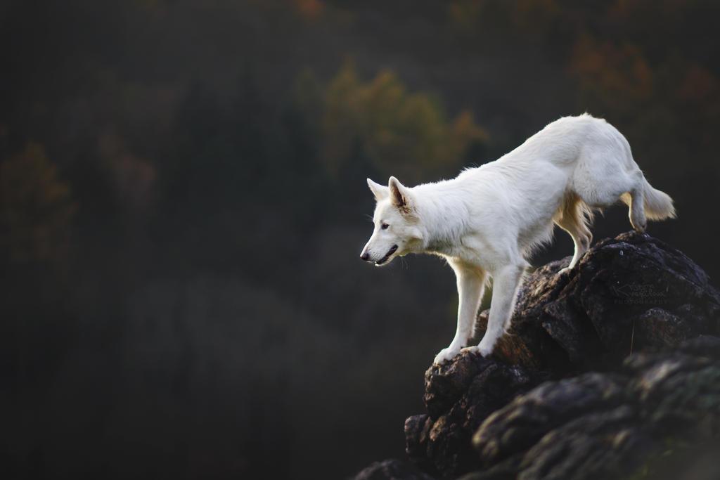 Like white wolf by KristynaKvapilova