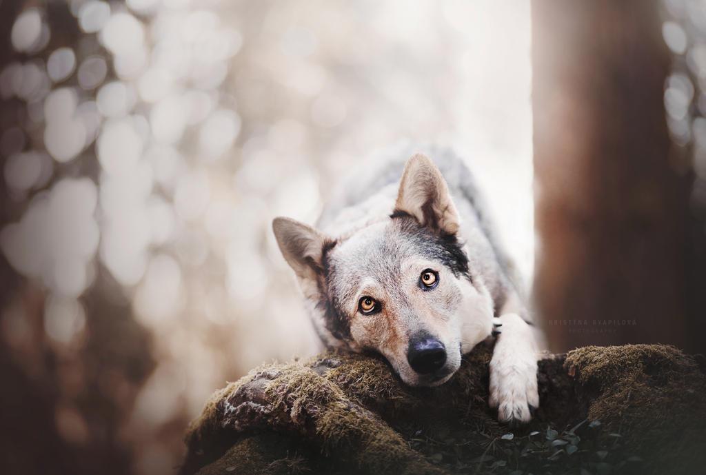 Sweet wolf by KristynaKvapilova