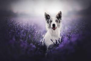Lavender portrait by KristynaKvapilova