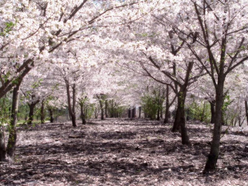 Cherry blossums by x0xTayuyax0x