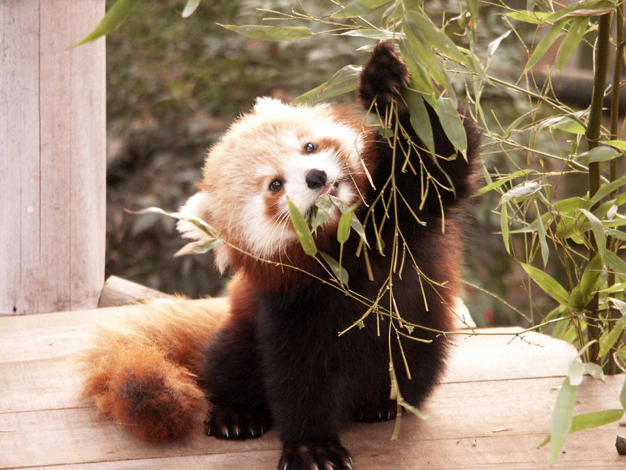 Red panda eating bamboo by manuel-em on DeviantArt